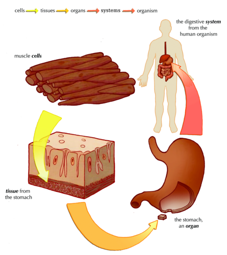 Gcse biology 91 the digestive system youtube 3026905 course biology gcse 91 course start 2016 ccuart Gallery