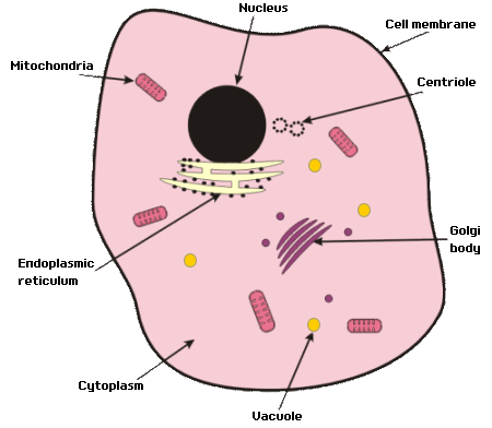 Gcse biology cell structure it contains structures called chromosomes made of a chemical called dna in the dna is coded information that tells the cell how ccuart Images