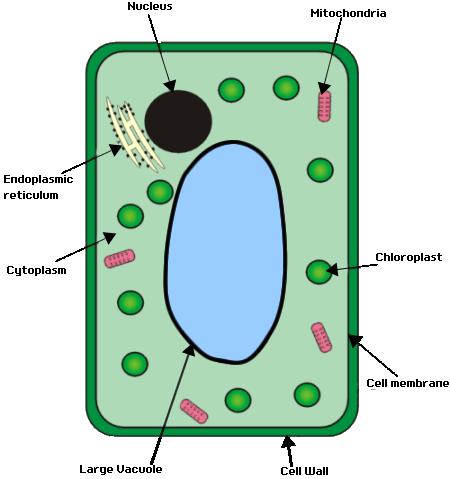 Do mitochondria have ribosomes